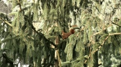Red Squirrel 085305 3/5 Stock Footage
