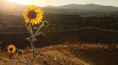 Yellow Wildflowers 264 Stock Footage