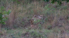 Cheetah eats animal Stock Footage