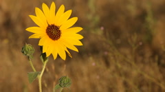 Yellow Wildflowers 303 Stock Footage