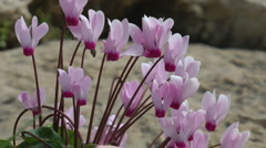 Blooming forest flowers. Cyclamen Persicum.  Stock Footage