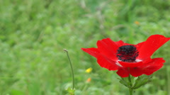 Blooming forest flowers. Anemone coronaria. Stock Footage