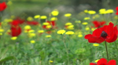 Blooming forest flowers. Slow motion. Anemone coronaria. Stock Footage