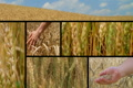 Wheat Crop Composite Footage