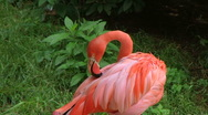 Stock Video Footage of American Flamingo Grooming 02