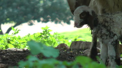 Newborn baby goat, few minutes after the birth. Slow Motion. Stock Footage