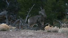 Mule Deer  Stock Footage