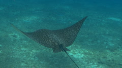 Spotted eagleray swimming over sandy ocean floor Stock Footage