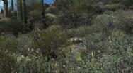 Saguaro Cactus Hillside  Stock Footage