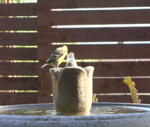 Yellow finch drinks from Birdbath Stock Footage