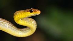 Stock Video Footage of Olive whipsnake (Chironius fuscus)