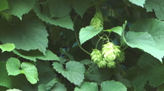 Green hops. - stock footage