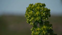 HD1080p25 Footage of Sardinia Spring. Euphorbia. Stock Footage