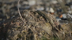 HD1080p25 (Maybe) Tyrrhenian Wall Lizard Stock Footage