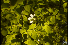 Dogwood blossoms Stock Footage
