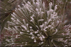 Snow covered pine tree Stock Footage