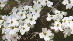 Dogwood Tree Flower Stock Footage