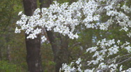 Stock Video Footage of Dogwood Tree Flower