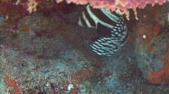 Drum fish spotted in a coral reef Stock Footage