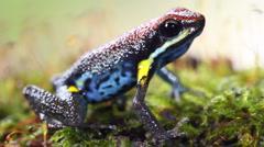 Ecuadorian poison frog (Ameerega bilinguis) - stock footage