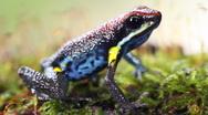 Stock Video Footage of Ecuadorian poison frog (Ameerega bilinguis)