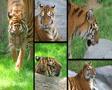 Siberian Tiger Composite Footage