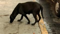Street Dog and Trash (HD) Stock Footage