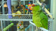 Stock Video Footage of Talking Parrot Series