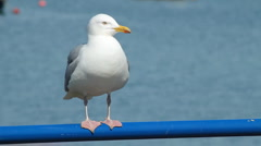 Seagull having difficulty balancing - stock footage