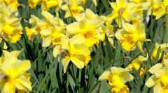 Daffodils - stock footage