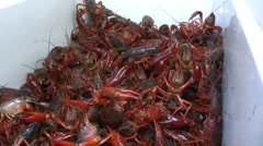 Live crawfish01 Stock Footage