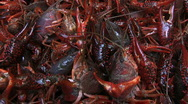 Stock Video Footage of live crawfish02