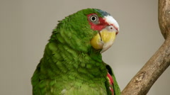 White Fronted Parrot Close Up (HD) Stock Footage