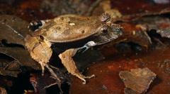 Perez's Snouted Frog (Edalorhina perezi) Stock Footage