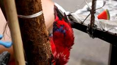 Red Parrot need freedom on the noisy street of Hanoi, Vietnam, Psittacidae Stock Footage