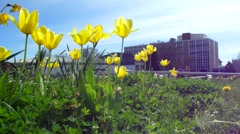 Sunny Tulips on College Campus Stock Footage