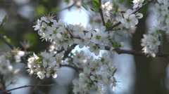 Hedgerow plants, Blackthorn blossom Stock Footage