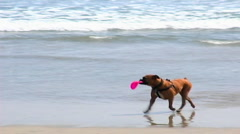 Dog On Beach Looking for a Playmate Stock Footage