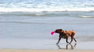 Stock Video Footage of Dog On Beach Looking for a Playmate