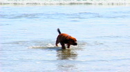 Stock Video Footage of Puppy Dog Runs In Ocean Surf 1