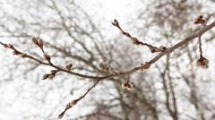 Branch of poplar Stock Footage