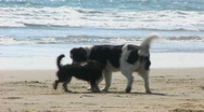 Stock Video Footage of Two Dogs Greet Each Other On Beach