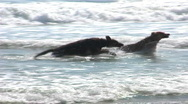 Stock Video Footage of Two Dogs Run In Ocean Surf