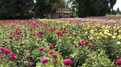 A field of asters in front of a barn Stock Footage