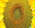 Sunflower Macro SD Footage