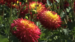 Brilliant red and yellow asters Stock Footage