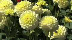 Pretty light yellow asters Stock Footage