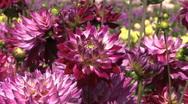 Pretty purple asters Stock Footage
