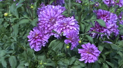 Stock Video Footage of A cluster of lavender asters