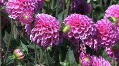 Vivid pink asters Stock Footage